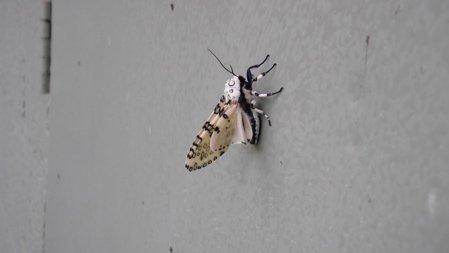 cicadawhite